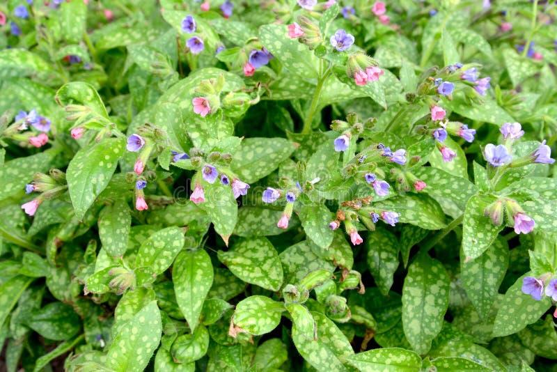 Det blomstra lungwortsockret eller finnig Pulmonaria saccharatafru Moon Bakgrund fotografering för bildbyråer