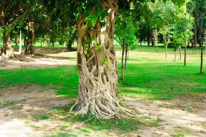 Det Bodhi trädet är det framdelen av Wat Srichum i Sukhothai historiskt P royaltyfri fotografi