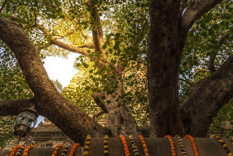 Det Bodhi trädet med stupa på bakgrund fotografering för bildbyråer