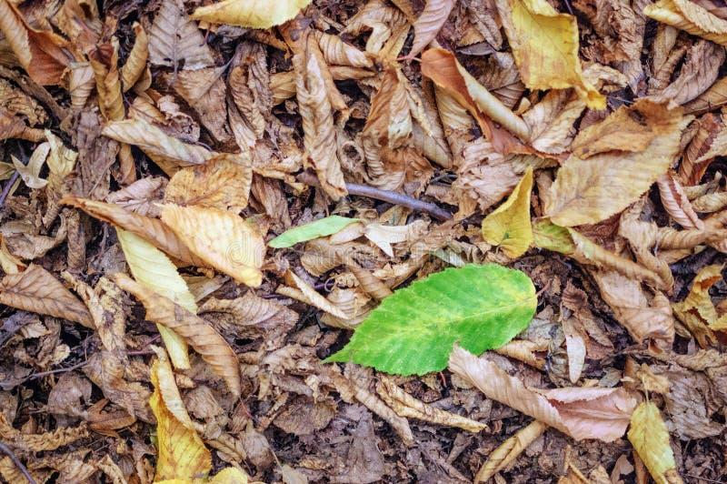 Det bosatta gröna bladet bland det dött torkar sidor fotografering för bildbyråer