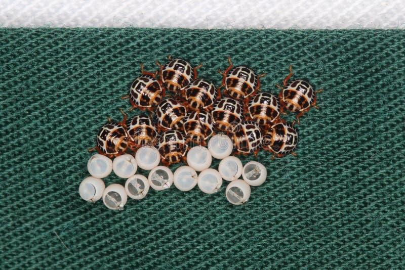 Det bruna ägget marmorated stankfelhatchlings på pinnen arkivfoton