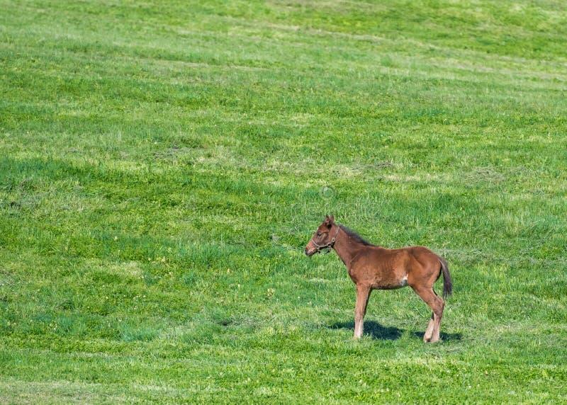 Det bruna fölet står i grönt fält royaltyfria bilder