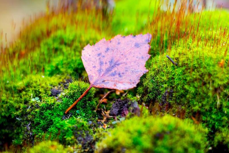 Det bruna torra asp- bladet ligger på ljust - grön mossa i nedgångforest_en fotografering för bildbyråer