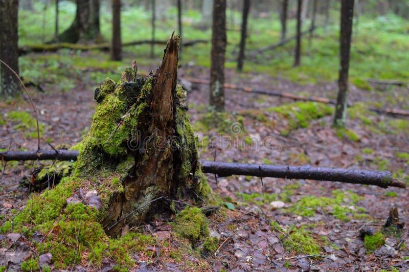 Det brutna trädet i den ryska taigaen stump arkivbild