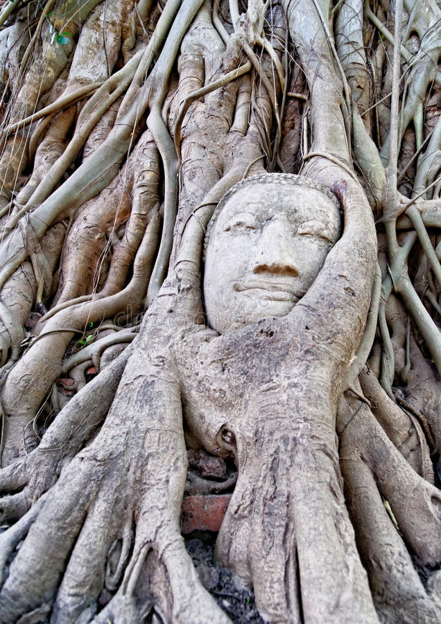 Det Buddha huvudet under tree rotar royaltyfria bilder