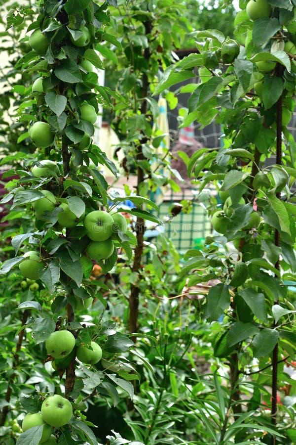 Det columnar äpplet är den naturliga klon av ett äppleträd som har inga sidofilialer arkivfoto