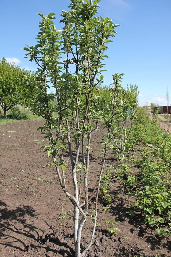 Det columnar Apple trädet fotografering för bildbyråer