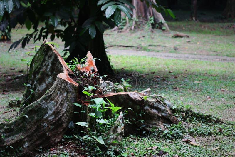 Det döda trädet i parkera royaltyfri bild