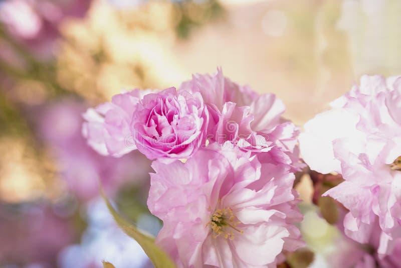 Det dekorativa körsbärsröda trädet blomstrar i vår fotografering för bildbyråer