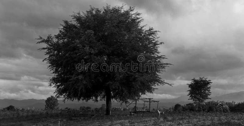 Det enda tamarindfruktträdet som står till och med tid och moln som igenom flyttar sig royaltyfria foton