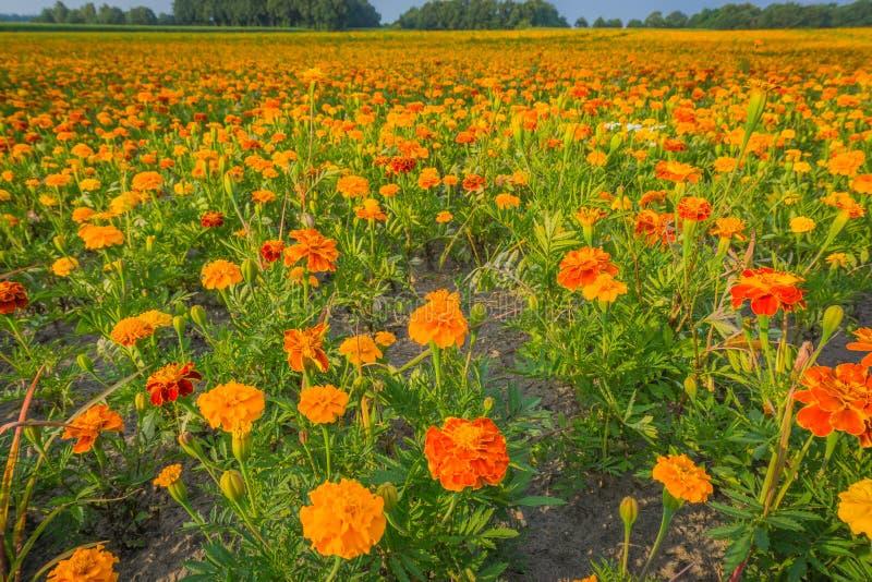 det enorma fältet av den gula och orange ringblomman blommar i makroslut upp royaltyfri foto