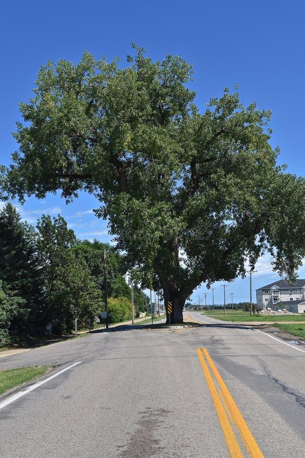 Det enorma poppelträdet står i mitt av en huvudväg arkivbild