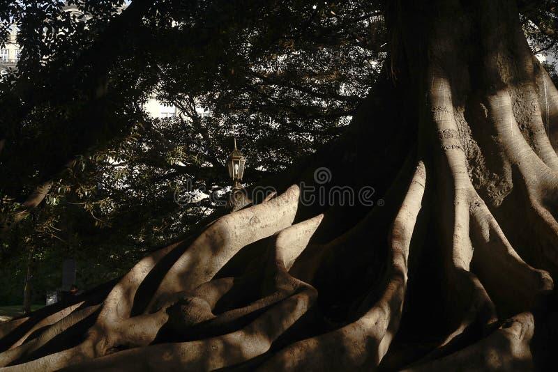 Det enorma trädet rotar arkivfoton