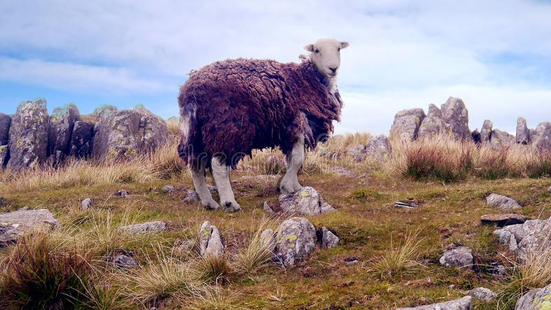 Det ensamma herdwickfåret bland vaggar på kullen arkivbilder