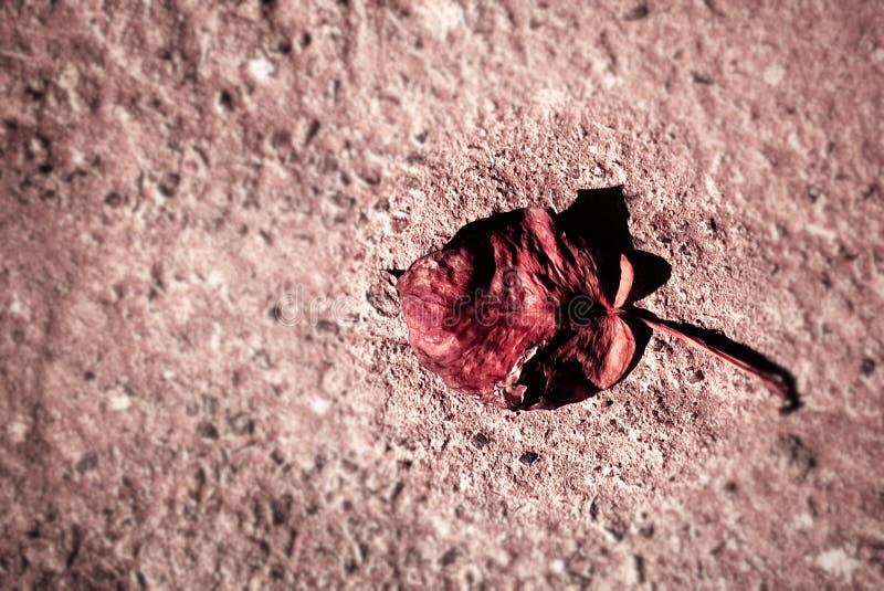 Det ensamma rödbrunt royaltyfri bild