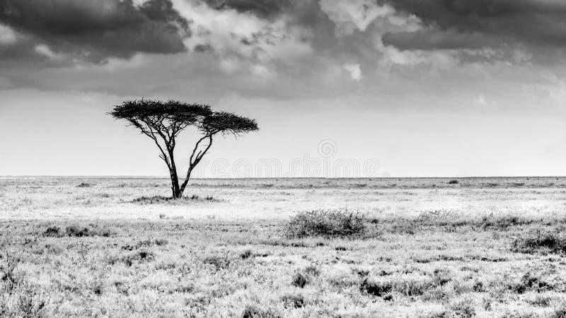 Det ensamma trädet av Tanzania royaltyfri foto