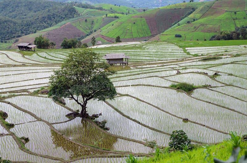 Det ensamma trädet bland ung risfält på ris terrasserar, härlig mou royaltyfri bild