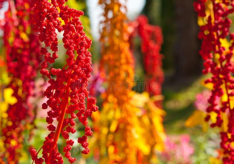 Det färgrika Quinoaträdet i lantgården royaltyfri foto