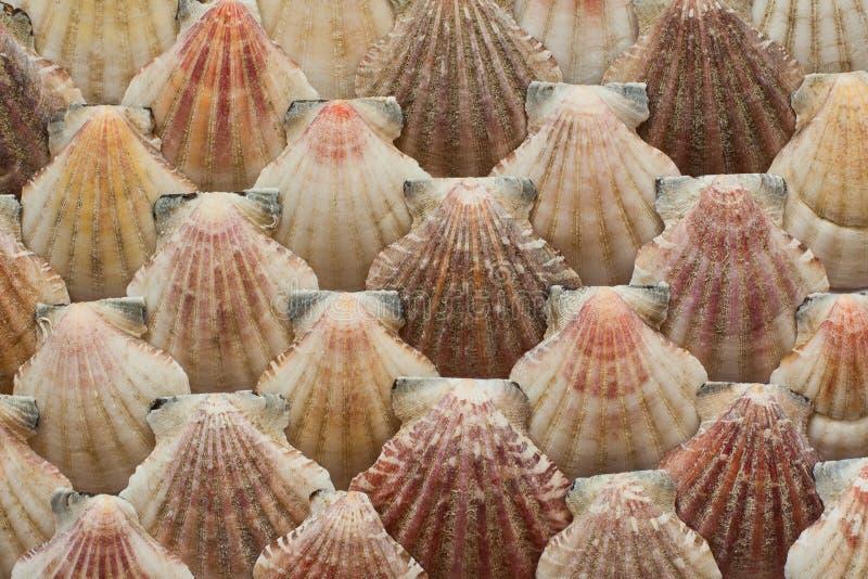 det fästande ihop isolerade banahavet shells white arkivbild