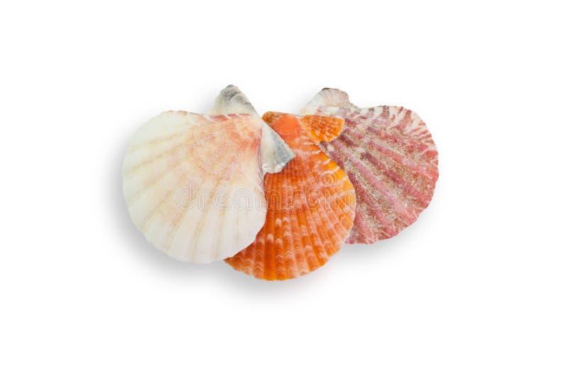 det fästande ihop isolerade banahavet shells white fotografering för bildbyråer
