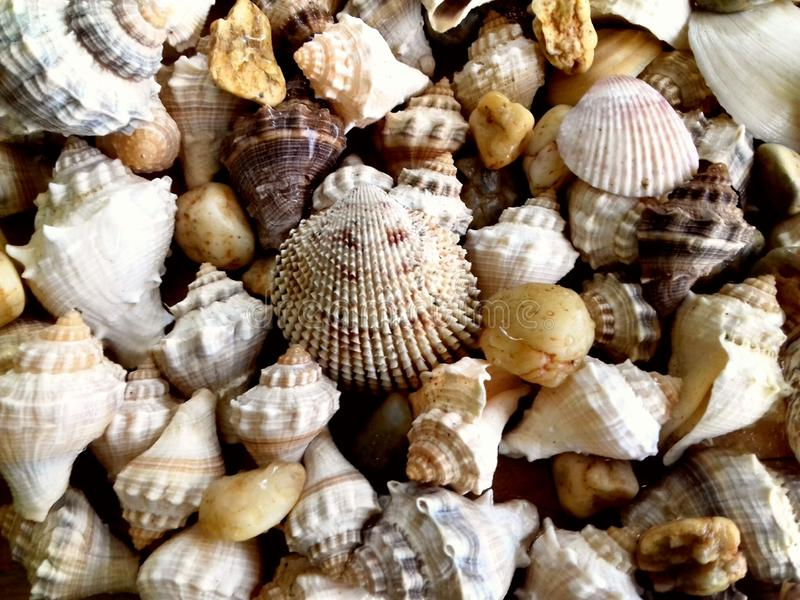 det fästande ihop isolerade banahavet shells white arkivfoto