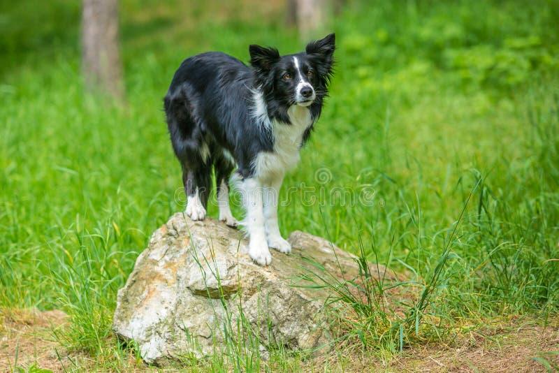 Det förtjusande unga svartvita border collie hundanseendet på ett stycke av vaggar royaltyfri bild