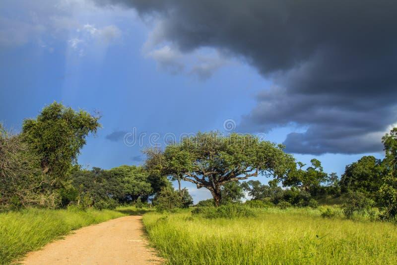 Det fantastiska landskapet av den gröna savannahen i kruger parkerar, Sydafrika arkivfoton