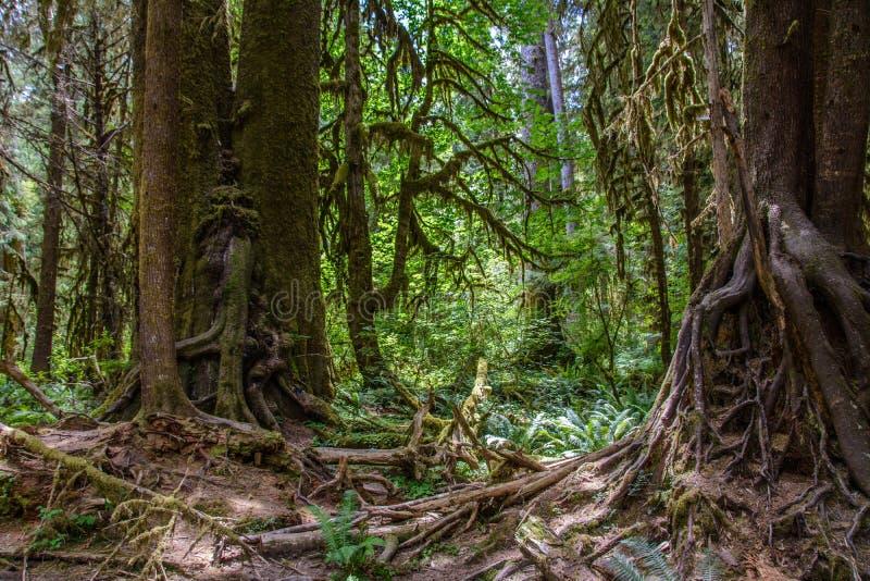 Det fantastiska trädet rotar, den Hoh Rain skogen, den olympiska nationalparken, Washington USA royaltyfria bilder
