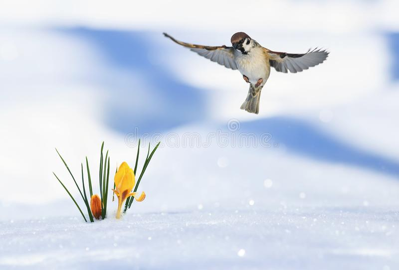 Det festliga vårkortet av den lilla fågelsparven flyger brett spr royaltyfria foton