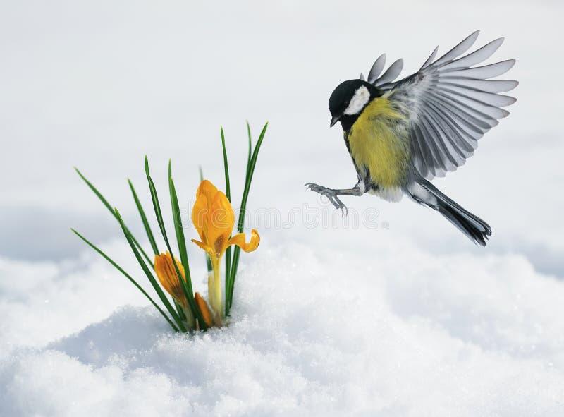 Det festliga vårkortet med en mes flyger för att gulna snödroppeframställning royaltyfri bild