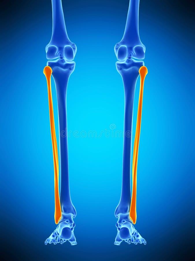 Det fibular vektor illustrationer
