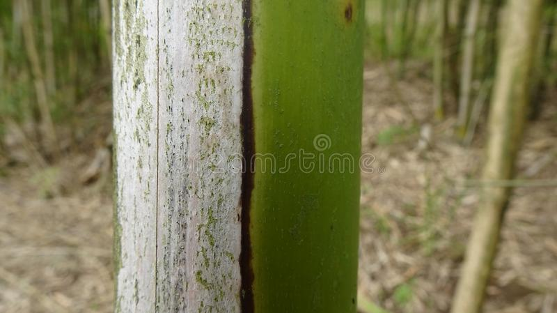 Det finns stilleben på sidan av en bambu som har vissnat arkivfoto