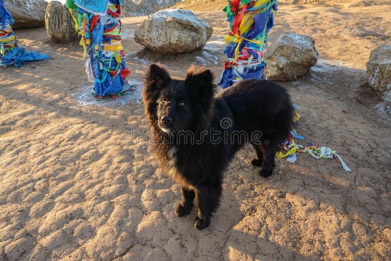 Det fluffiga anseendet för svart hund på de sakrala polerna på medicinmannen vaggar i Lake Baikal royaltyfri foto