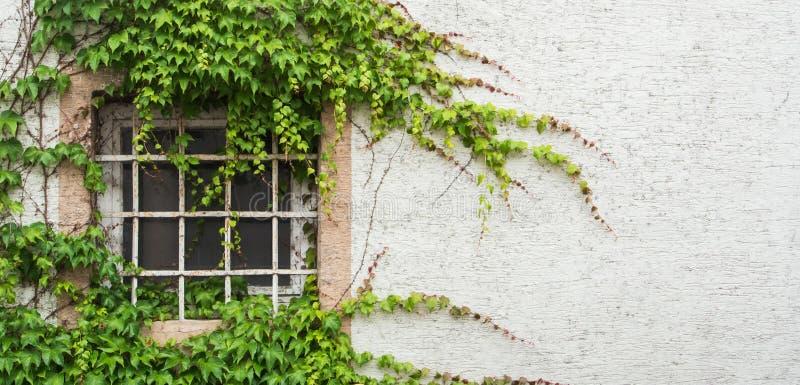 Det gamla fönstret med ett galler som täcktes med druvasidor, en minimalistic sikt med en vit, texturerade väggbakgrund royaltyfri fotografi