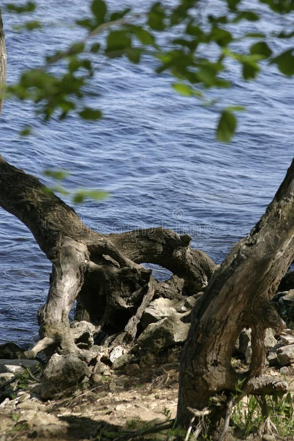 Det gamla trädet över floden som rymmer rotar bak stenkusten royaltyfri bild