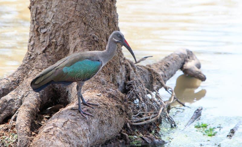 Det glansiga ibisanseendet på ett träd rotar att förbise en sjö i den södra luangwaen Zambia arkivfoton