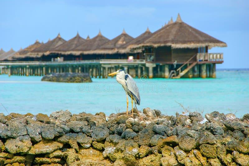 Det gråa hägerArdeaCinera anseendet på en strand i Maldiverna, vattenbungalow förlägga i barack i bakgrund royaltyfria foton
