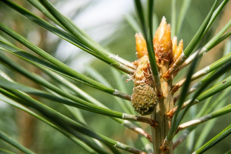 Det gröna berget sörjer Pinusmugocloseupen med unga kottar på suddig färgrik höstskogbakgrund med härlig bokeh arkivfoton