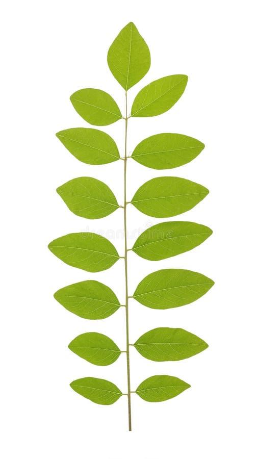 Det gröna bladet av akacian som, gemensamt är bekanta som wattlesna eller akacian, är ett stort släkte av buskar och träd i subfa royaltyfria foton