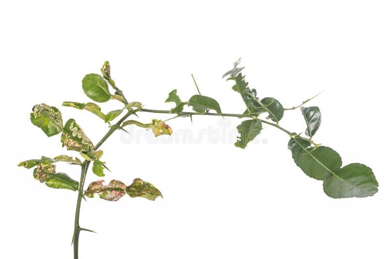 Det gröna bladet av kaffirlimefrukt lämnar visningkräftaproblem studio arkivfoton