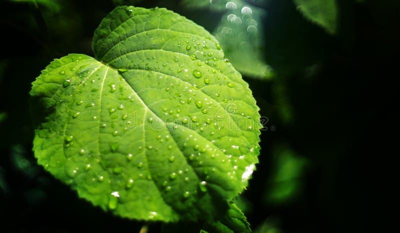 Det gröna bladet med vatten tappar i sommar i trädgården, svart bakgrund royaltyfria foton