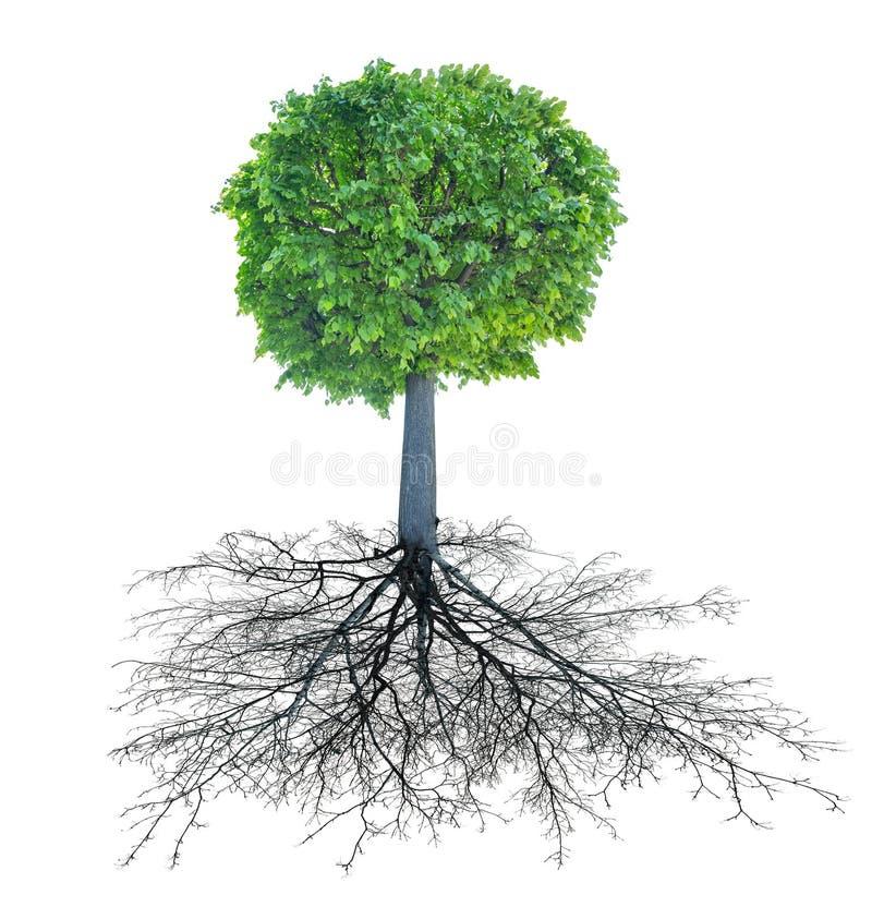 Det gröna cirkellindträdet med rotar royaltyfri illustrationer