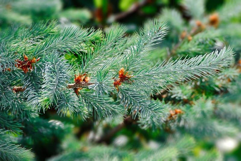 Det gröna granträdet eller sörjer filialer arkivbilder