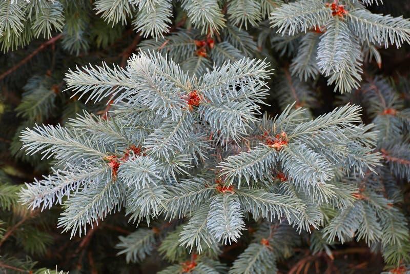Det gröna granträdet eller sörjer filialer arkivfoto