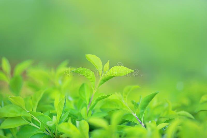 Det gröna trädbladet på suddig bakgrund i parkerar med kopieringsutrymme och den rena modellen arkivbild