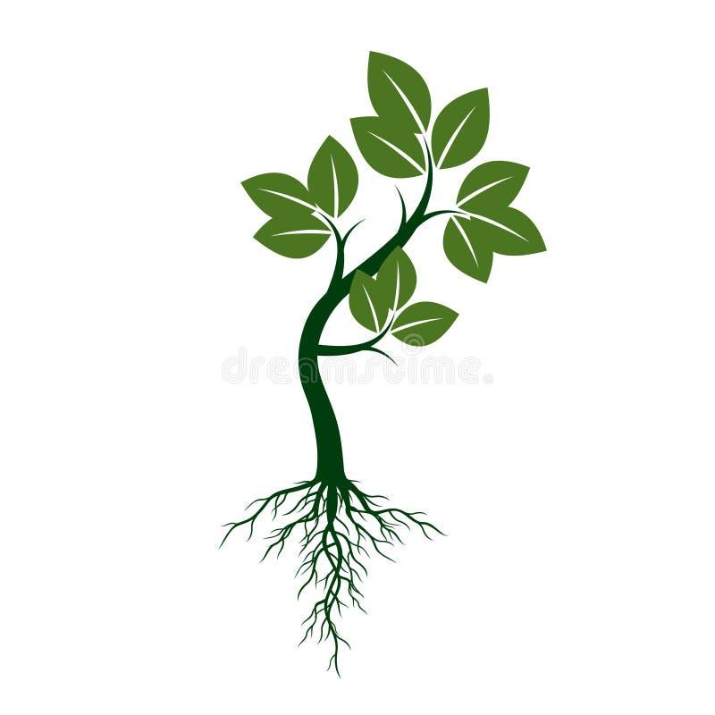Det gröna trädet med rotar också vektor för coreldrawillustration vektor illustrationer