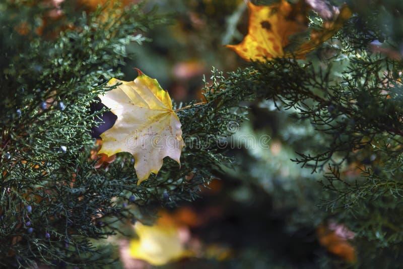 Det gula lönnhöstbladet avverkar på gröna kvistar av granträdet, brigh royaltyfri fotografi