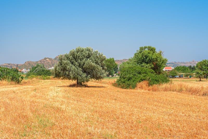 Det gula lutade sommarfältet med en ensam olivträd arkivbilder