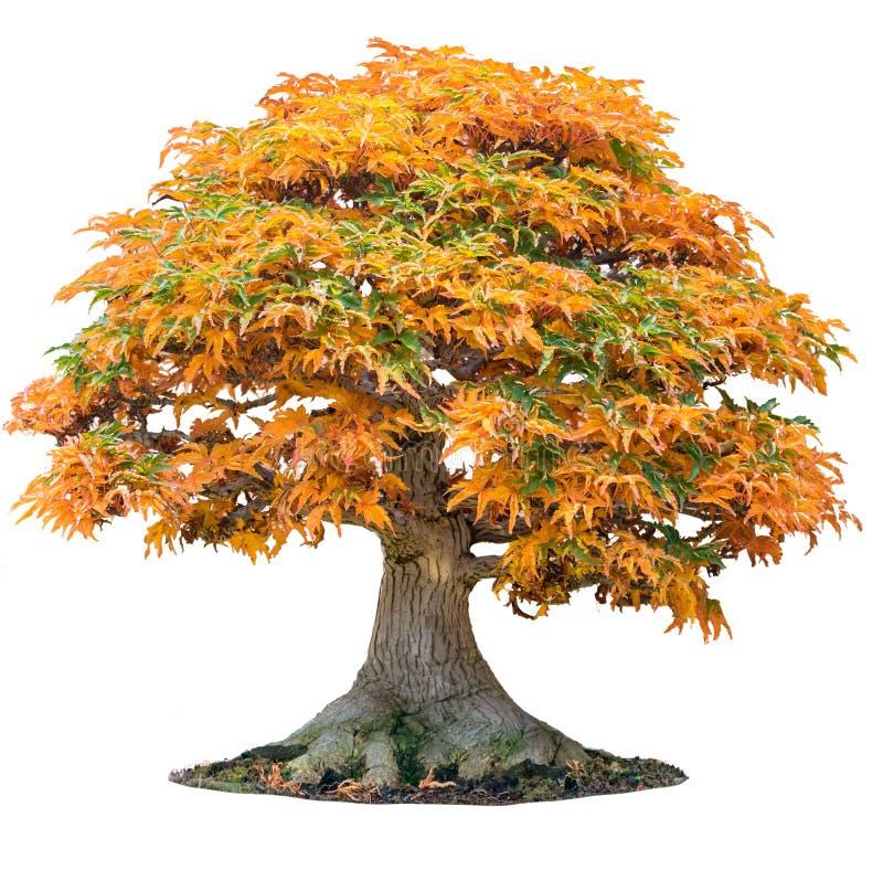 Det gula trädet för palmatumen för aceren för lönnträdet av treuddlönn i höstshishigashiralönn isolerade vit royaltyfria bilder