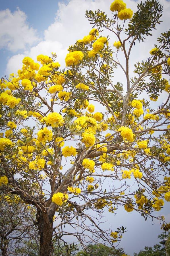 Det guld- trädet med guling blommar cochlospermumregium royaltyfria bilder